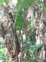 3288_22-bananos.JPG