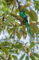 4644_quetzal_swallowing.jpg
