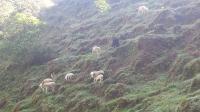 7066_2279_goats.jpg